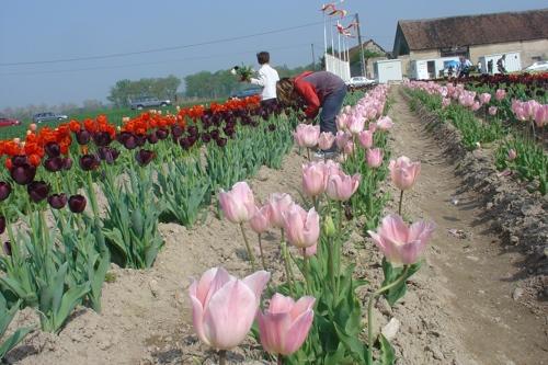 Il est important de choisir des tulipes pas trop ouvertes