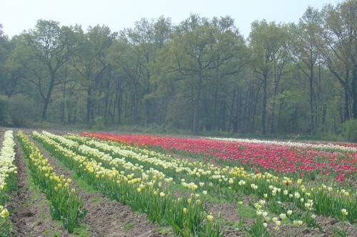 Champs de tulipes en Sologne, étonnant !