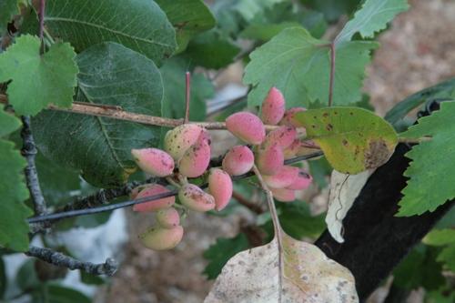 Grappe de pistaches