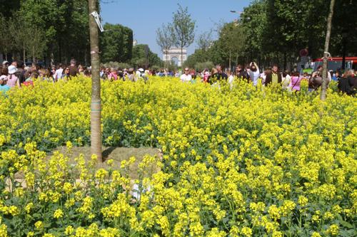 Ces colzas qui fleurissent actuellement dans nos campagnes sont là aussi sur les Champs