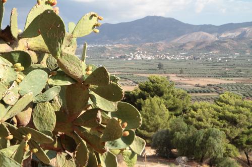 La colline où se sont installés les habitants de Festos, il y a 3000 années, domine une plaine luxuriante et riche. L'olivier souvent irrigué en est le roi.