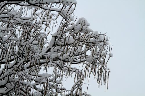 La neige s'est accrochée aux graines pour créer d'innombrables stalactites.