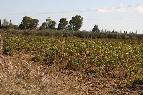 Après Korba, la vigne prend la place des oliviers.