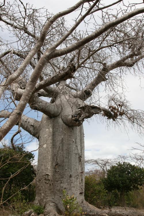 Un baobab aux environs de Diego Suarez