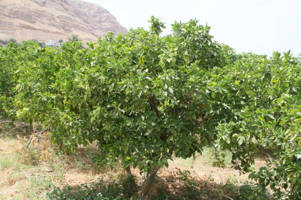 Un oranger dans la région de Jéricho